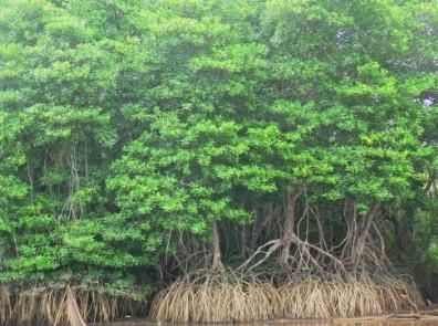мангры